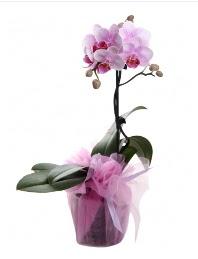 1 dal pembe orkide saksı çiçeği  Kastamonu kaliteli taze ve ucuz çiçekler