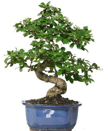 21 ile 25 cm arası özel S bonsai japon ağacı  Kastamonu çiçekçi telefonları