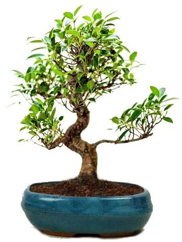 25 cm ile 30 cm aralığında Ficus S bonsai  Kastamonu çiçek gönderme sitemiz güvenlidir