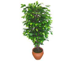 Ficus Benjamin 1,50 cm   Kastamonu anneler günü çiçek yolla