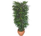 Kastamonu çiçek siparişi sitesi  Özel Mango 1,75 cm yüksekliginde