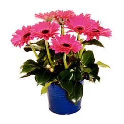vazo içerisinde gerbera çiçekleri   Kastamonu online çiçek gönderme sipariş