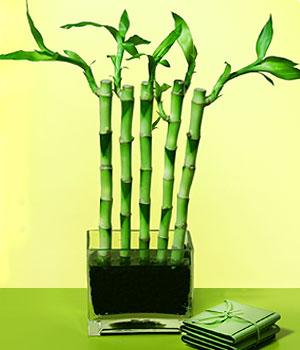 Kastamonu anneler günü çiçek yolla  Good Harmony Lucky Bamboo camda