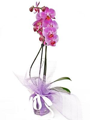 Kastamonu anneler günü çiçek yolla  Kaliteli ithal saksida orkide