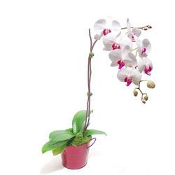 Kastamonu çiçek gönderme  Saksida orkide