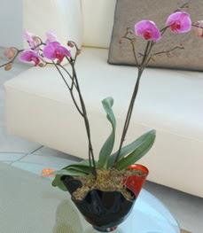 Kastamonu çiçekçi mağazası  tek dal ikili orkide saksi çiçegi