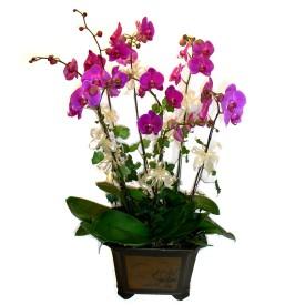 Kastamonu cicek , cicekci  4 adet orkide çiçegi