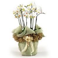 Kastamonu çiçek siparişi sitesi  3 dal orkide , saksi çiçegi , 3 kök orkide