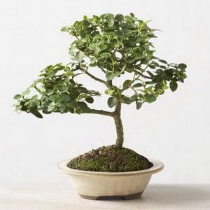 ithal bonsai saksi çiçegi  Kastamonu çiçek online çiçek siparişi