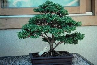 ithal bonsai saksi çiçegi  Kastamonu 14 şubat sevgililer günü çiçek