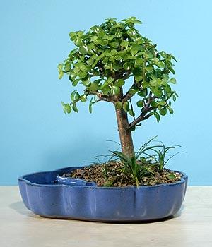 ithal bonsai saksi çiçegi  Kastamonu çiçekçiler