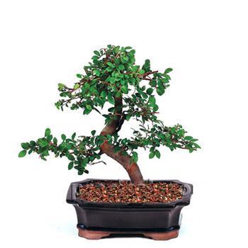 ithal bonsai saksi çiçegi  Kastamonu çiçek siparişi vermek
