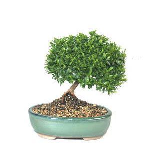 ithal bonsai saksi çiçegi  Kastamonu cicekciler , cicek siparisi