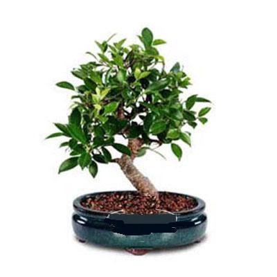 ithal bonsai saksi çiçegi  Kastamonu çiçek siparişi sitesi