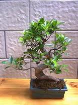 ithal bonsai saksi çiçegi  Kastamonu hediye sevgilime hediye çiçek