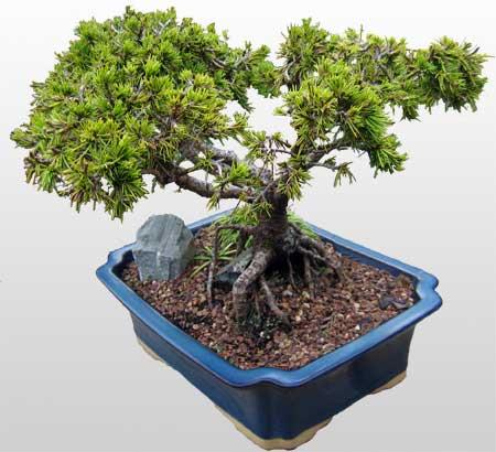 ithal bonsai saksi çiçegi  Kastamonu çiçekçi mağazası