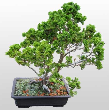ithal bonsai saksi çiçegi  Kastamonu İnternetten çiçek siparişi