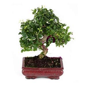 ithal bonsai saksi çiçegi  Kastamonu anneler günü çiçek yolla