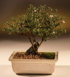 ithal bonsai saksi çiçegi  Kastamonu çiçek mağazası , çiçekçi adresleri