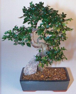 Kastamonu çiçek gönderme sitemiz güvenlidir  ithal bonsai saksi çiçegi  Kastamonu çiçek siparişi sitesi