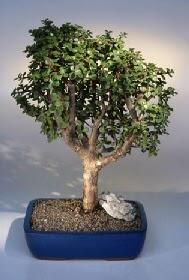 Kastamonu çiçek gönderme  ithal bonsai saksi çiçegi  Kastamonu çiçekçiler