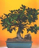Kastamonu çiçekçi telefonları  ithal bonsai saksi çiçegi  Kastamonu internetten çiçek siparişi
