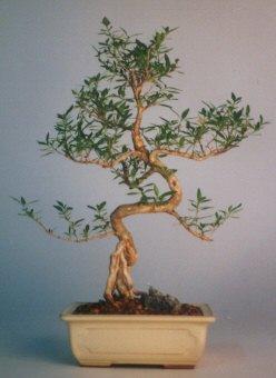 Kastamonu çiçek satışı  ithal bonsai saksi çiçegi  Kastamonu çiçek siparişi vermek