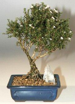 Kastamonu çiçek , çiçekçi , çiçekçilik  ithal bonsai saksi çiçegi  Kastamonu online çiçek gönderme sipariş