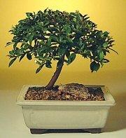 Kastamonu ucuz çiçek gönder  ithal bonsai saksi çiçegi  Kastamonu cicek , cicekci