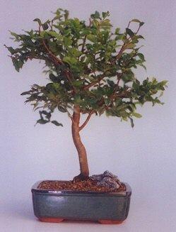 Kastamonu ucuz çiçek gönder  ithal bonsai saksi çiçegi  Kastamonu anneler günü çiçek yolla