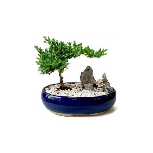 ithal bonsai saksi çiçegi  Kastamonu çiçek gönderme