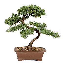 ithal bonsai saksi çiçegi  Kastamonu çiçek gönderme sitemiz güvenlidir