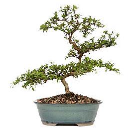 Kastamonu İnternetten çiçek siparişi  ithal bonsai saksi çiçegi  Kastamonu çiçek gönderme sitemiz güvenlidir