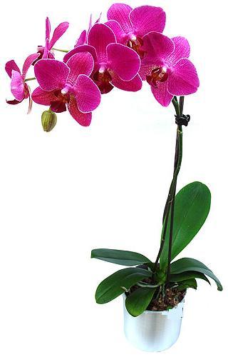 Kastamonu çiçekçi mağazası  saksi orkide çiçegi