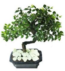 9 yasinda Bonsai agaci  Kastamonu yurtiçi ve yurtdışı çiçek siparişi