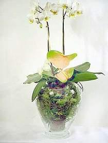 Kastamonu çiçek satışı  Cam yada mika vazoda özel orkideler