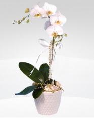 1 dallı orkide saksı çiçeği  Kastamonu online çiçekçi , çiçek siparişi