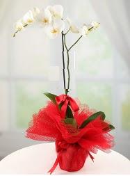 1 dal beyaz orkide saksı çiçeği  Kastamonu yurtiçi ve yurtdışı çiçek siparişi
