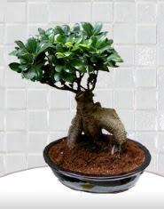 saksı çiçeği japon ağacı bonsai  Kastamonu kaliteli taze ve ucuz çiçekler