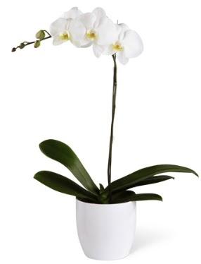 1 dallı beyaz orkide  Kastamonu 14 şubat sevgililer günü çiçek