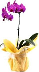 Kastamonu çiçek siparişi sitesi  Tek dal mor orkide saksı çiçeği