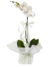 1 dal beyaz orkide çiçeği  Kastamonu çiçek siparişi vermek