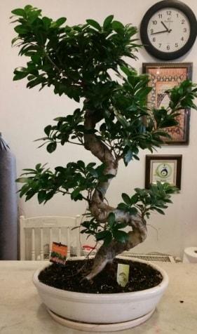100 cm yüksekliğinde dev bonsai japon ağacı  Kastamonu İnternetten çiçek siparişi