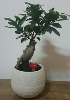 Bonsai japon ağacı saksı çiçeği  Kastamonu çiçek gönderme sitemiz güvenlidir