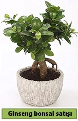 Ginseng bonsai japon ağacı satışı  Kastamonu çiçekçi telefonları