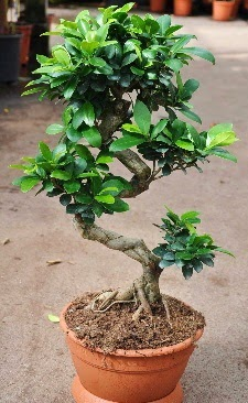 Orta boy bonsai saksı bitkisi  Kastamonu internetten çiçek siparişi