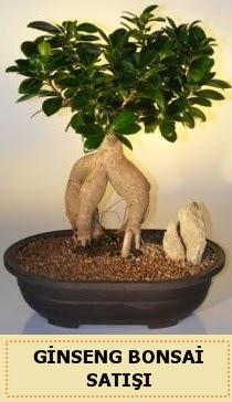 İthal Ginseng bonsai satışı japon ağacı  Kastamonu çiçek siparişi sitesi