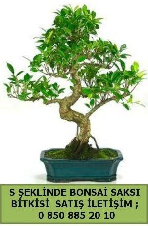 İthal S şeklinde dal eğriliği bonsai satışı  Kastamonu çiçek gönderme