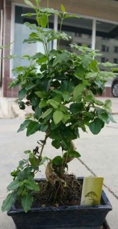 Bonsai japon ağacı saksı bitkisi  Kastamonu çiçek siparişi vermek