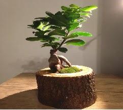 Doğal kütükte Bonsai japon ağacı satışı  Kastamonu internetten çiçek satışı